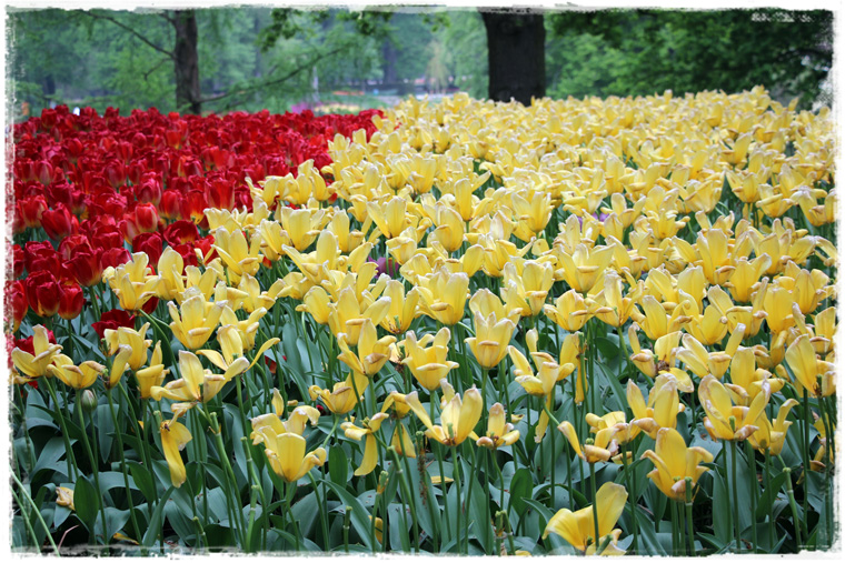 Пересадка в Амстердаме - лучший повод посмотреть тюльпаны